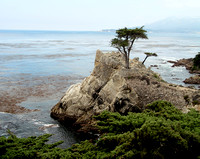 The Lone Cypress grows and survivies on a rock ledge.