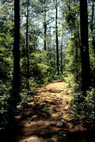 The trail in the pine forest is inviting you to go for a walk on the trail.