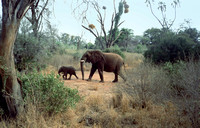 Elephant mother following her young calf.