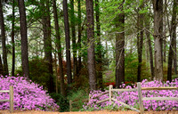 Azaleas in full pink bloom lead into a colorful pathway in the garden.