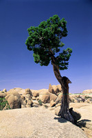 Lone Joshua tree growing in a rock ledge.