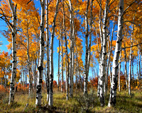 Aspen grove in autumn colors.