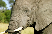 Close-up and personal view of an old elephant.